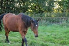 Horses Suffolk Autumn Stock Photos