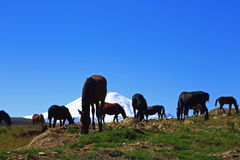 Horses on the summer autumn caucasus meadow Royalty Free Stock Images