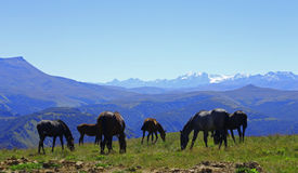 Horses on the summer autumn caucasus meadow Stock Photo