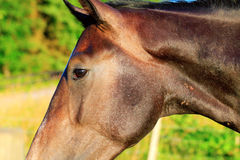 Horses in the summer Royalty Free Stock Image