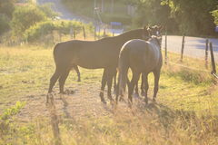 Horses in the summer Royalty Free Stock Photography