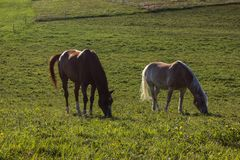 horses on summer evening stock photos
