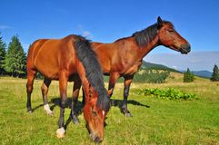Horses on a summer mountain pasture Royalty Free Stock Images