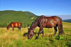 Horses on a summer mountain pasture Royalty Free Stock Photo