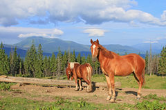 Horses on a summer mountain pasture Stock Image