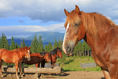 Horses on a summer mountain pasture Stock Photos