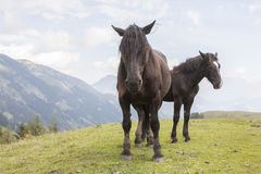 Horses summer in the mountains Stock Image