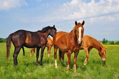 Horses on a summer pasture Stock Image