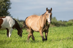 Horses in the summer pasture Stock Photos