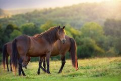 Horse herd at sunset Royalty Free Stock Photo