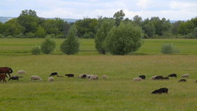 Horses on summer pasture. Horses on summer green pasture stock video footage