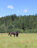 Horses on a summer pasture Stock Photos