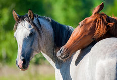 Horses in summer. Two horses in the summer field royalty free stock photo
