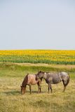 Horses By Sunflowers Royalty Free Stock Image