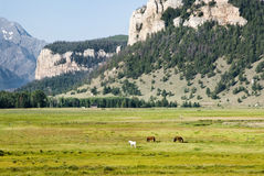 Horses in Sunlight Basin. Horses among the mountains and valleys in Sunlight Basin Royalty Free Stock Photo