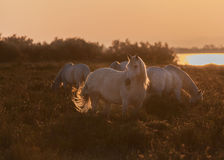 Horses at the sunrise Stock Images