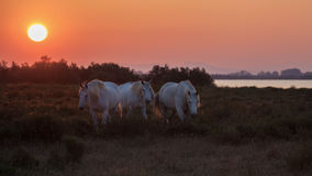 Horses at the sunrise Stock Photos