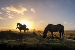 Horses at sunrise Stock Images