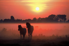 Horses Sunrise mist. Red nature dutch landscape netherlands morning stock image