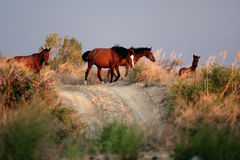 Horses at sunset Royalty Free Stock Photos