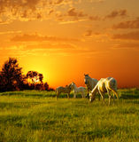 Horses at sunset. Family of horses at sunset Royalty Free Stock Photos