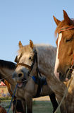 Horses at sunset. White and chestnut horses at sunset Stock Images