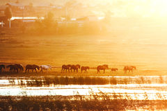 Horses into the sunset. Stock Photo