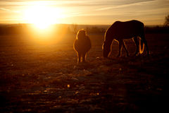 Horses in the sunset eating. Some horses standing in the field grazing in the sunset Stock Image