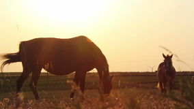 Horses at sunset stock video
