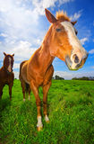 Horses in Suny Field Royalty Free Stock Image