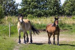 Horses in Suwalki Landscape Park, Poland. Royalty Free Stock Image