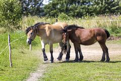 Horses in Suwalki Landscape Park, Poland. Royalty Free Stock Photography