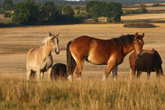Horses in Sweden. Nature in south Sweden in the province of Sk�ne, horses on a field Stock Photo