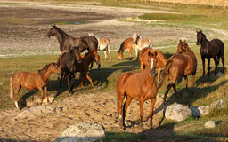 Horses in Sweden Royalty Free Stock Photos