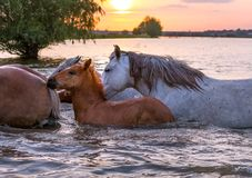 Horses swim across the river at sunset. royalty free stock photos