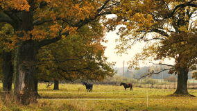 Horses taking rest under the tree. Two horses taking rest under the oak tree. Autumn,day stock footage