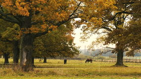 Horses taking rest under the tree. Two horses taking rest under the oak tree. Autumn,day stock video