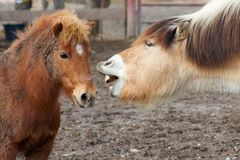 Horses talking Royalty Free Stock Photography