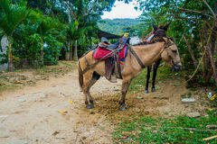 Horses in Tayrona National Park, Colombia Stock Photography