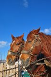 Horses in a team Royalty Free Stock Photography