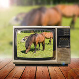 Horses in television Stock Image
