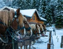 Horses are tethered by snow in winter royalty free stock photo
