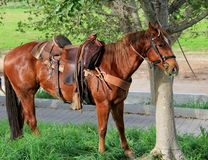 Horses tethered under the trees Stock Image