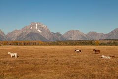 Horses and Tetons in Fall Stock Photos
