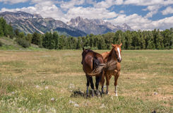Horses in The Tetons Stock Images