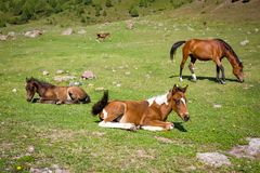 Horses on th pasture Royalty Free Stock Image