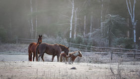 Horses in their corral on a frosty November morning. Stock Photo