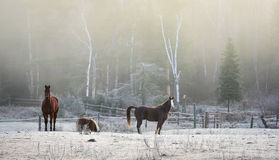 Horses in their corral on a frosty November morning. Royalty Free Stock Photography
