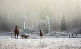 Horses in their corral on a frosty November morning. Royalty Free Stock Photos