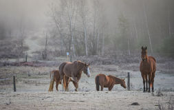 Horses in their corral on a frosty November morning. Royalty Free Stock Photo